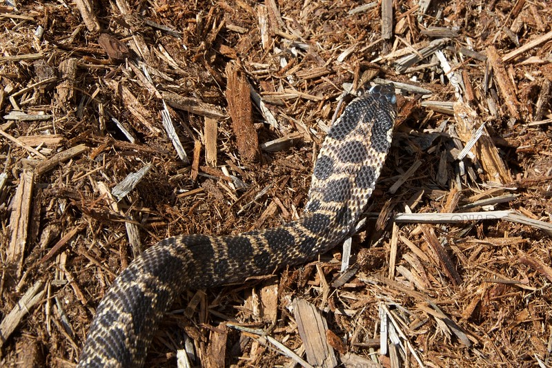 Eastern Hognose Snake