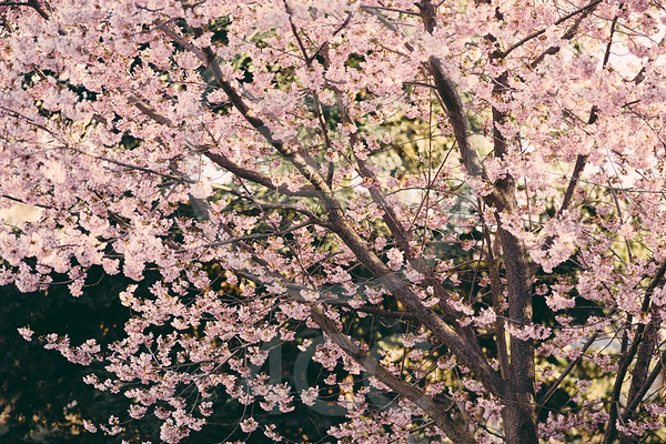 Birds in the Cherry Blossoms