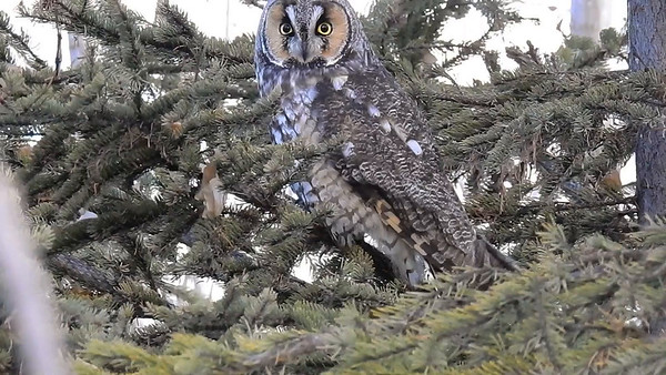 1-18-17 **Video - Long-eared Owl