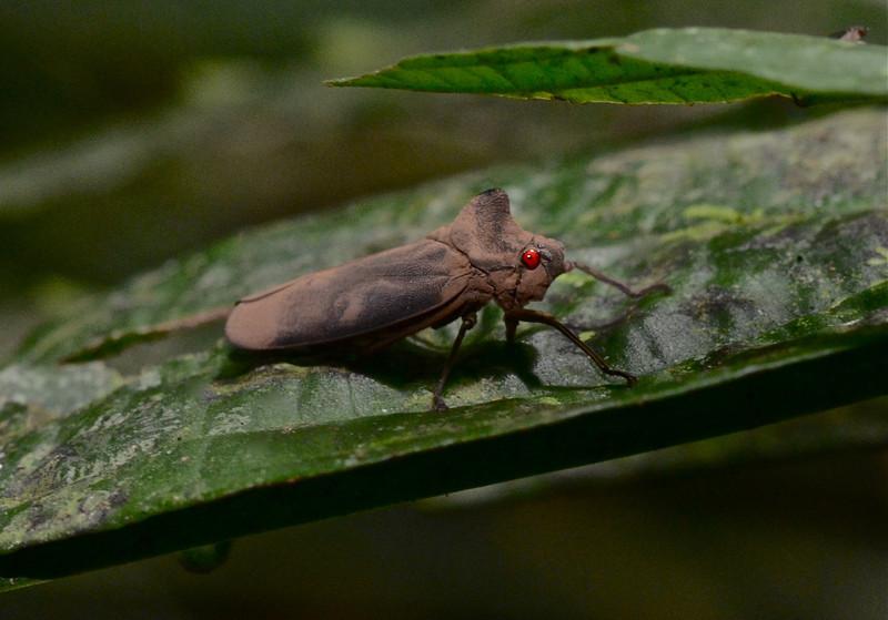 Red Eyed Leaf Hopper