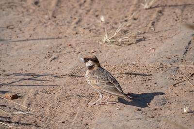 Sparrow-Lark, Fischer's (monotypic)
