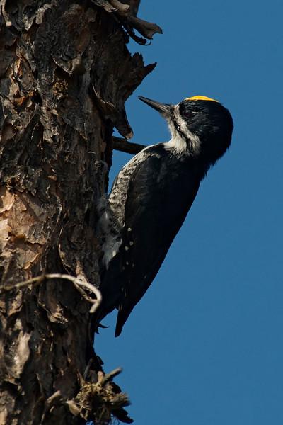 Woodpecker - Black-backed - male - Gunflint Trail - Cook County, MN