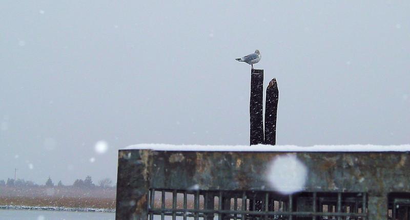 1st Snow Gull.jpg