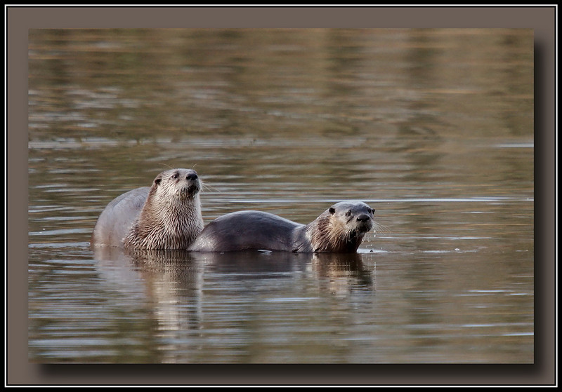 Two of a family of three river otters seen at Surrey Lakes park, Surrey, BC.  2010-01-10  SonyA700 + Sigma 50-500.
