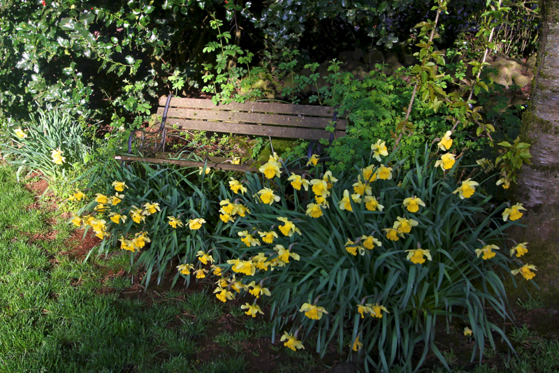 An old park bench engulfed in Daffodils!