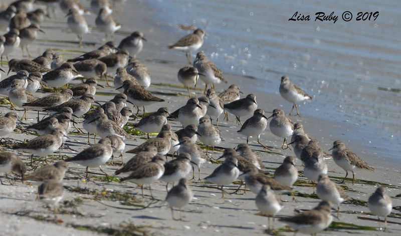 Least Sandpipers  - 10/11/2019 - Crown Point