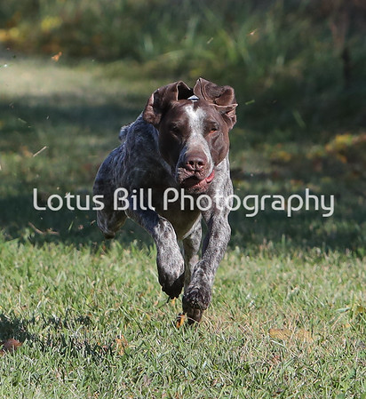 German Short Haired Pointer SR31