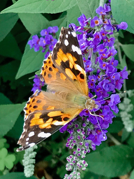 IMG_8672 Butterfly close up.jpg
