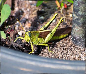 Two-striped Grashopper