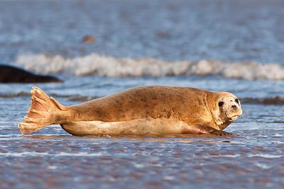 Seals at Donna Nook 2009