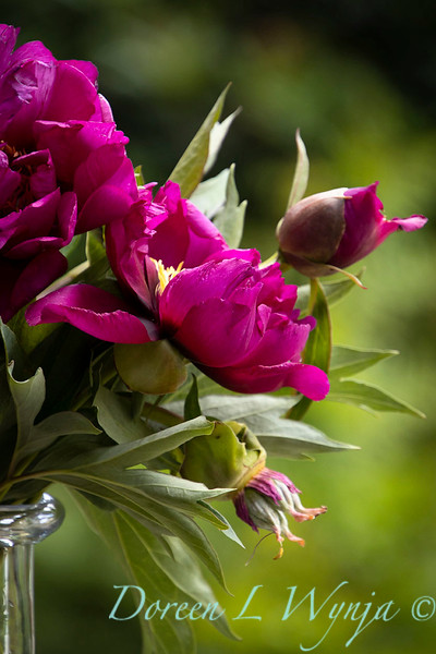 6858 Peaonia x 'Morning Lilac' cut flowers in a vase_1061.jpg