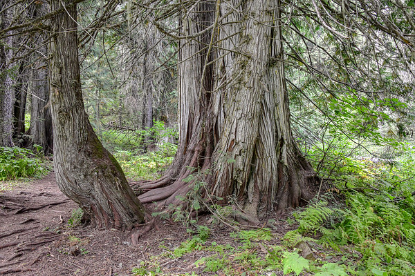 9-1-19 Old Growth Cedar Forest - Fernie BC