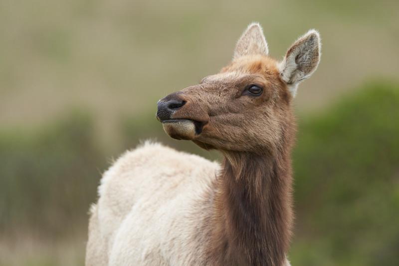 Tule Elk at Point Reyes