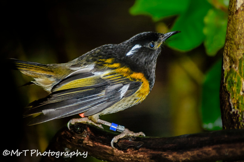 Stitch bird Tiri Tiri Matangi