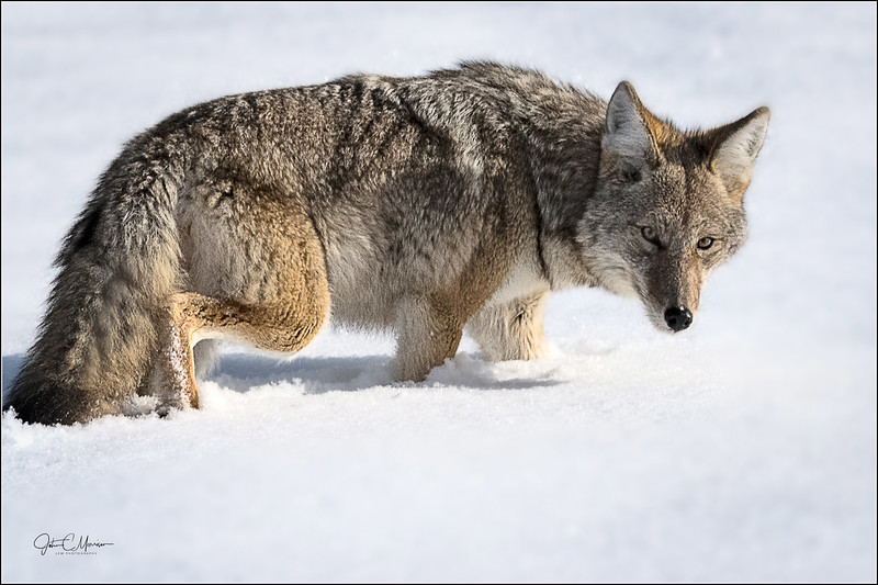 J85_1482 Coyote in snow cust LPNW.jpg
