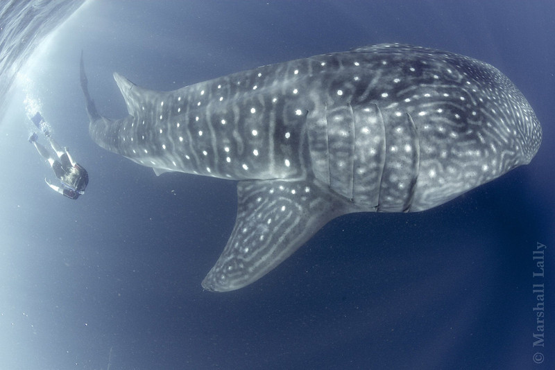 Marshall Lally photo:  Juliet and whale shark