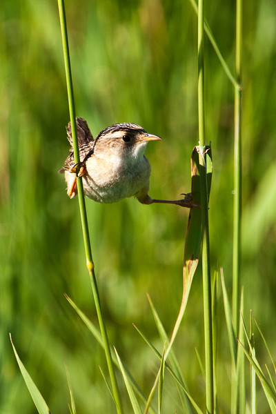Wren - Sedge - Priem Road - Itasca County, MN