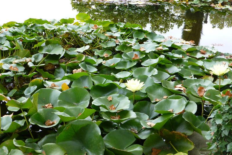 Water Lilies still in bloom.