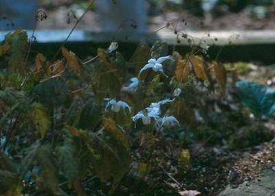 Epimedium grandiflorum 'Shikinomai'