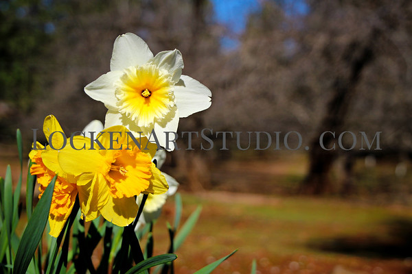 Daffodil Hill March 2019