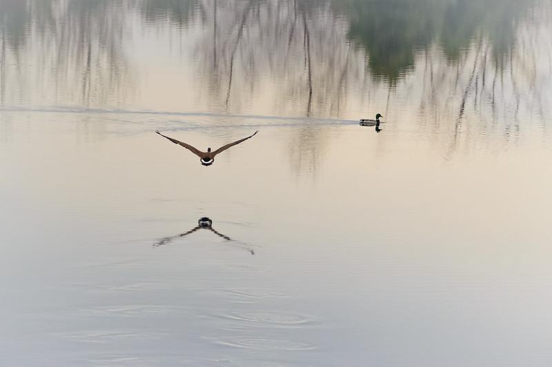 Air Goose @ Sunrise 2-8536.jpg