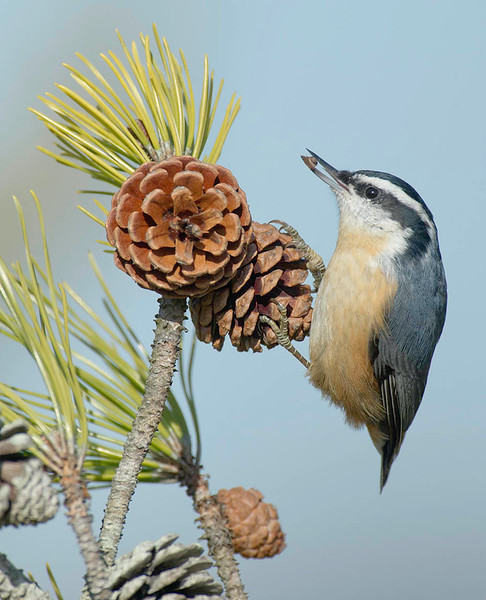 red-breasted nuthatch with pine seed HSPk _DSC2123
