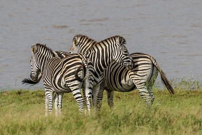 Zebras - Zebraer