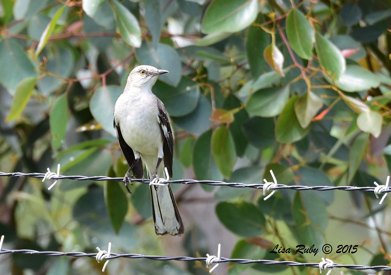 Northern Mockingbird - 5/10/2015 - Fort Rosecrans National Cemetery