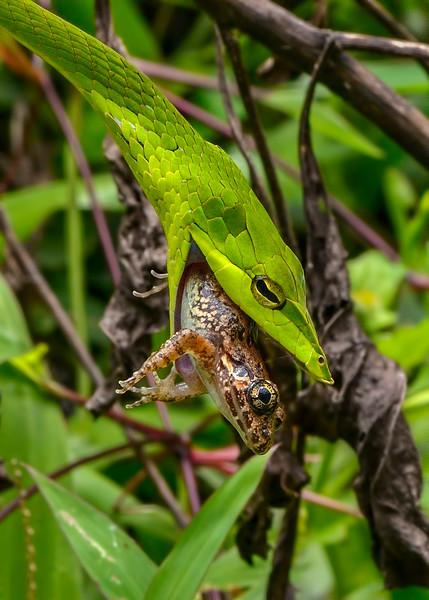 Green-Vine-Snake-hunt-widening-jaws-moving-over-prey.jpg