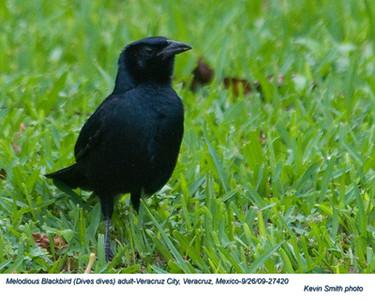 MelodiousBlackbirdA27420.jpg