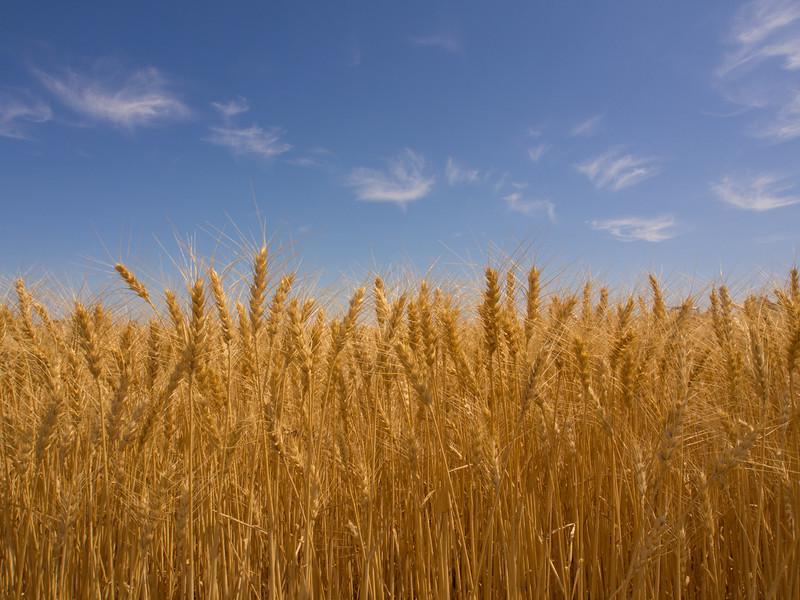 montana wheat.jpg