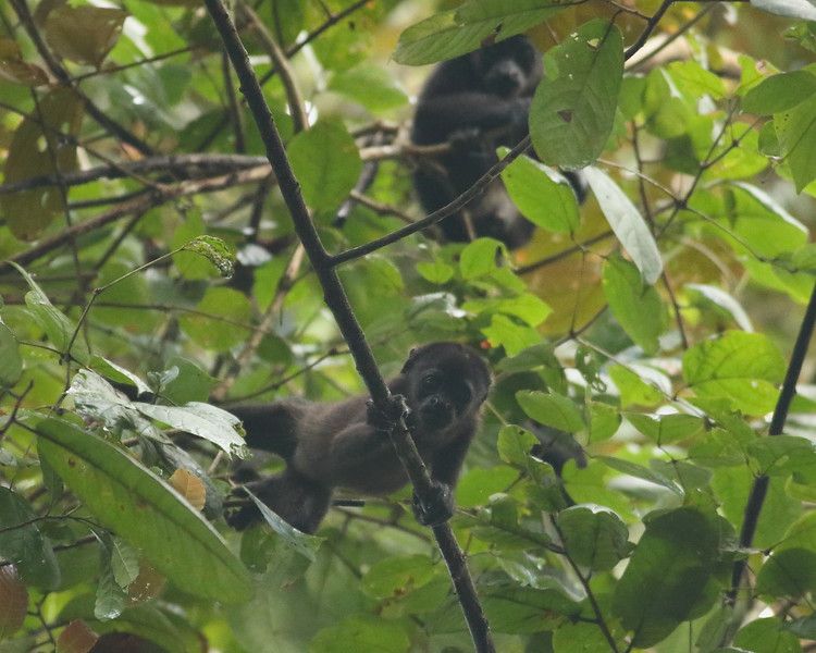 2017_ mantled howler monkey youngster_Gamboa Pipeline Rd_Panama_AQ3T4696