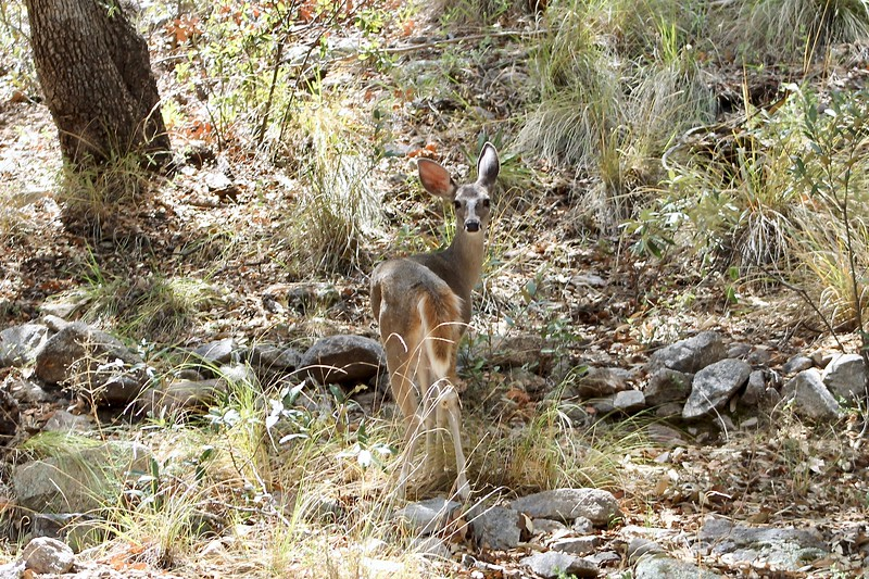Wildlife in Huachuca Canyon (2019)