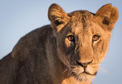 A Predator's Stare