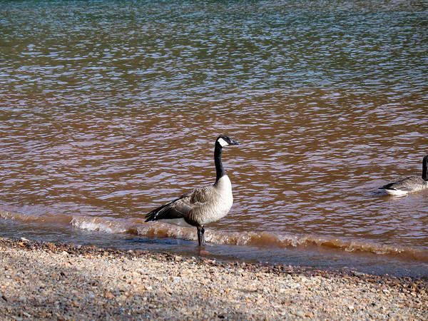 Geese at Jenkinson Lake