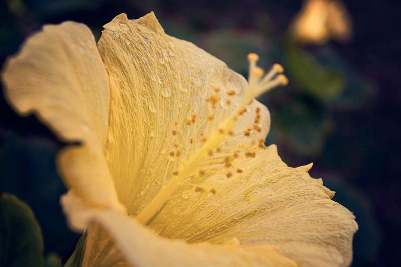 hibiscus rain1x.jpg