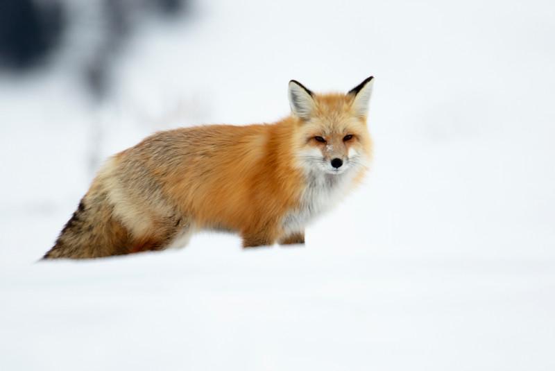 387A9742 Red fox at Hayden valley close.jpg