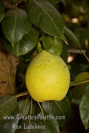 Fan-Cris™ Pear