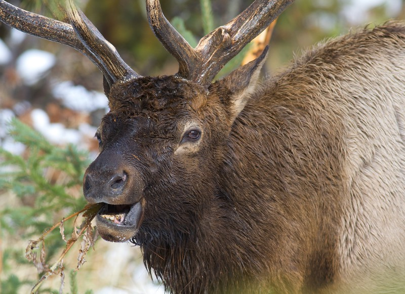 This elk appears to be eating a dead thistle stalk [October; Yellowstone National Park, Wyoming]