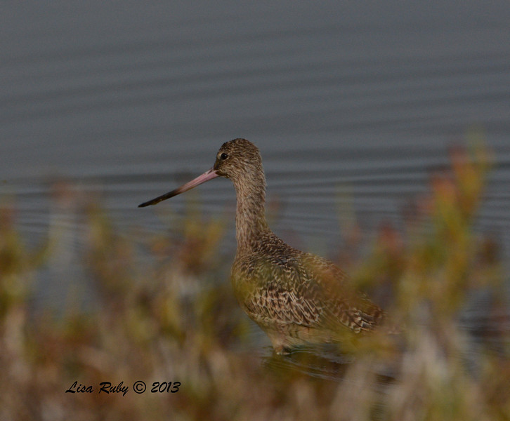 Marbled Godwit - Salt Works - 10/27/13