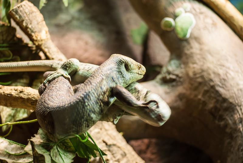 lizard fight-3.jpg