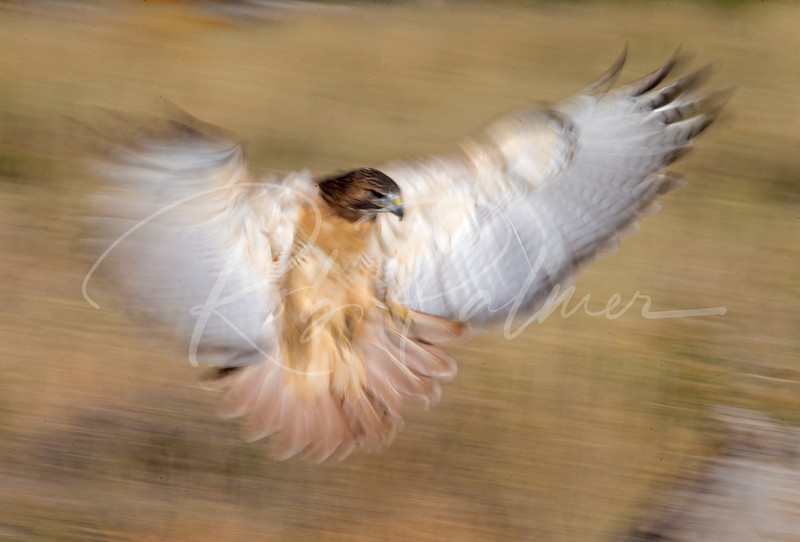 Red Tailed Hawk Landing