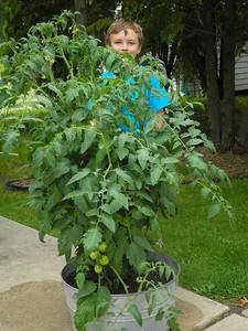 This tomato plant is pretty big! Taller than me! O_O
