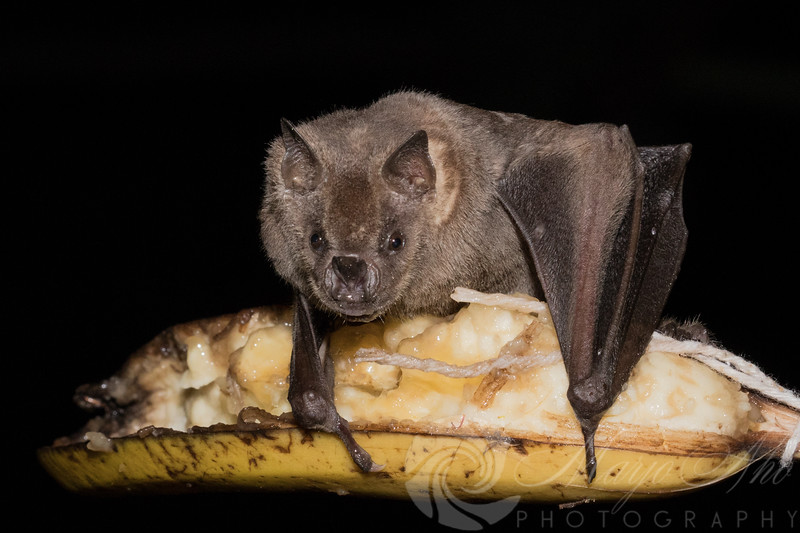 Hungry Bats after Hurricane Maria