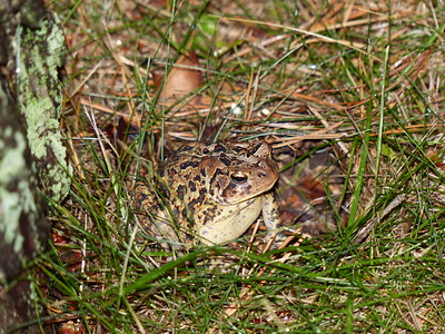 20160815 American Toad
