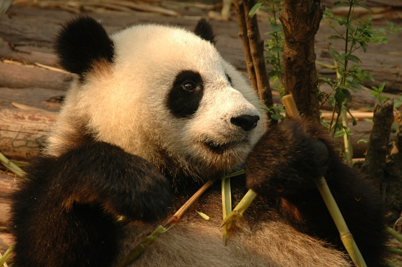 Chinese Panda - Chengdu, China