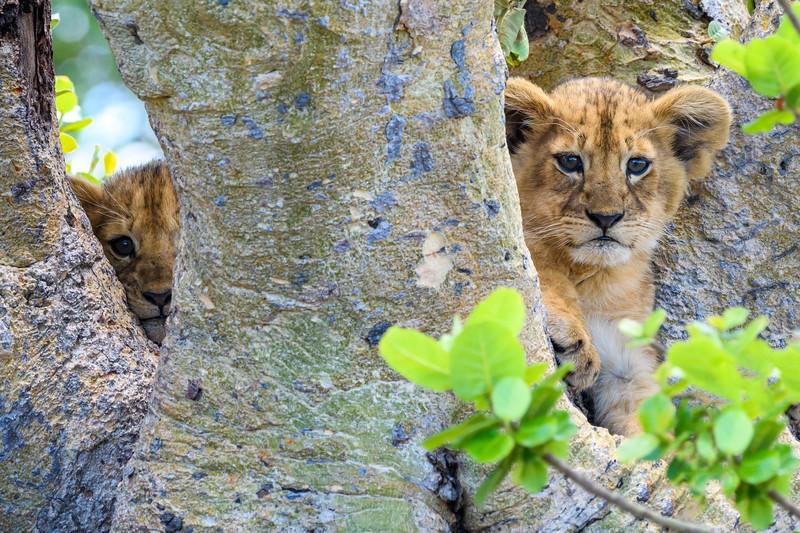 Lion cub duo.jpg