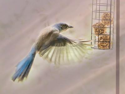 Blue  Jay and the Hot Pepper Suet Balls