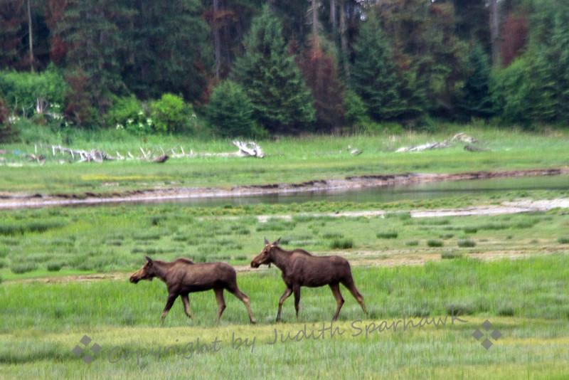 Moose pair2.jpg
