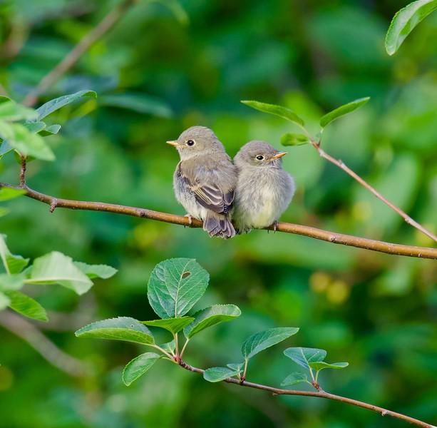 Willow Flycatcher fledglings